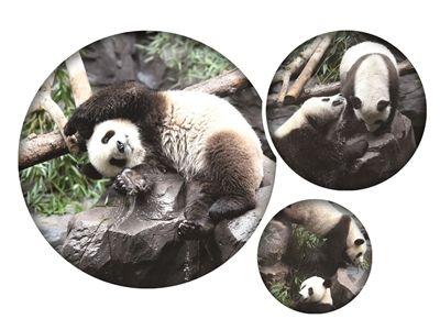 大熊猫姐妹花安全到南京 1日起与游客见面