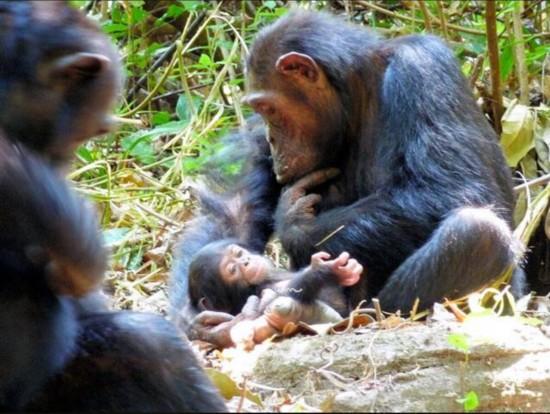"""日研究员:黑猩猩也会""""休产假"""" 离群索居为防孩子被杀"""