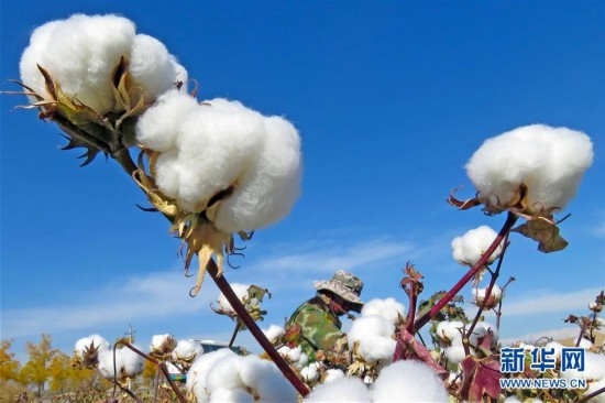 #(经济)(1)新疆棉花采摘忙