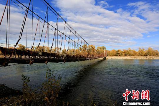 新疆数十万牲畜转场过额尔齐斯河(图)