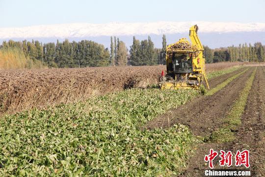新疆兵团近2000亩甜菜进入收获季节