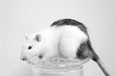 源自人体细胞的肠道成功移植给大鼠