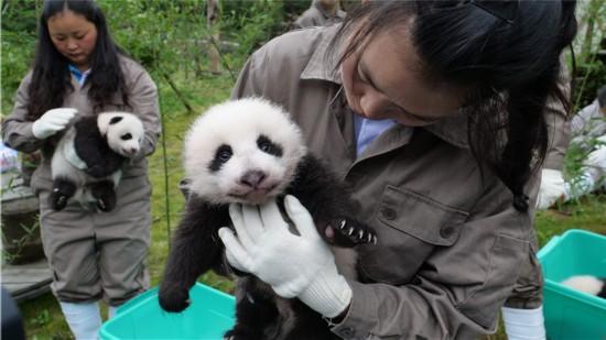 神树坪基地大熊猫宝宝   中国大熊猫保护研究中心党委书记张志忠告诉四川新闻网记者,2017年中国大熊猫保护研究中心大熊猫幼仔繁育成活突破40只是大熊猫繁育史上的最好成绩。保护研究中心大熊猫人工繁育技术的成熟,为履行保护研究中心负责全国大熊猫人工饲养、繁育、遗传、疾病防控以及圈养大熊猫野化培训与放归;协助开展大熊猫国内外合作与交流;推动大熊猫文化建设、科普教育和宣传工作的基本职能提供了有力的保障。(记者 刘佩佩)   图片由中国大熊猫保护研究中心提供