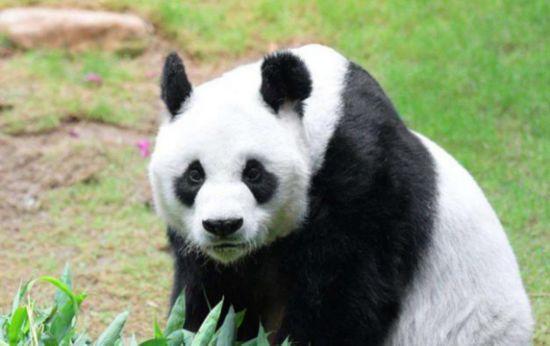 橡皮泥,说动物园里的熊猫盼盼马上要过5岁生日了,手工课老师要求大家