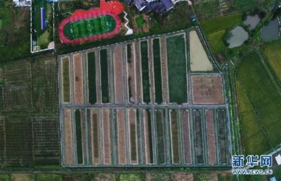 """(图文互动)(1)""""巨型稻""""2.2米高 中科院推出高产水稻新种质"""