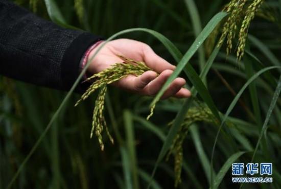 """(图文互动)(2)""""巨型稻""""2.2米高 中科院推出高产水稻新种质"""