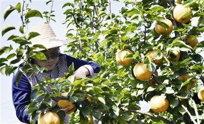 南通海门果树种植面积近2万亩 年产值7000万元