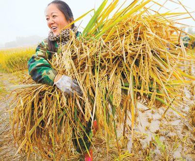 超级杂交水稻单季亩产创新高