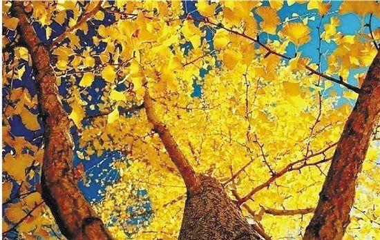 秋风起落叶黄 快去萧山的人民路尽情拍照吧