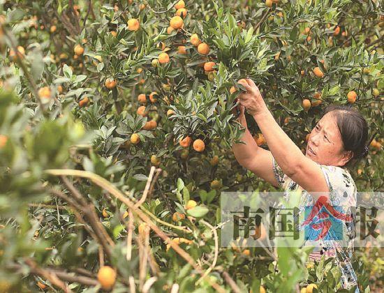 柳橘一年更比一年甜 今后柳州全年都能吃本地柑橘