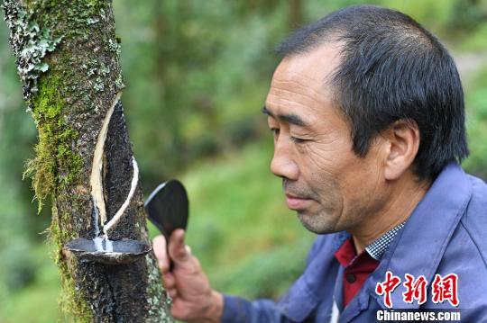 人头山村村民们几乎家家有漆树,每年除了种地种茶之外,通过割漆每户