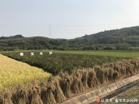 晶桥120亩彩色水稻惊艳亮相.jpg