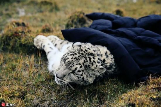 历时七天七夜 青海囊谦成功救助一只受伤雪豹