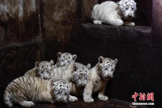 云南野生动物园白虎妈妈破纪录产下6胞胎--陕西频道