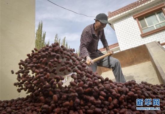 (经济)(3)新疆若羌:红枣似蜜甜