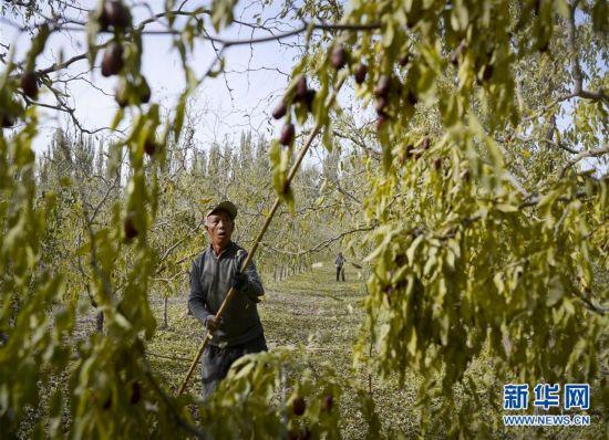 (经济)(4)新疆若羌:红枣似蜜甜
