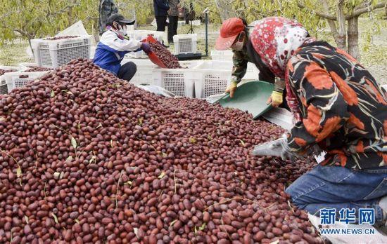 (经济)(2)新疆若羌:红枣似蜜甜