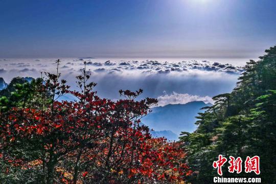 黄山进入最佳赏秋期五彩斑斓的重阳节