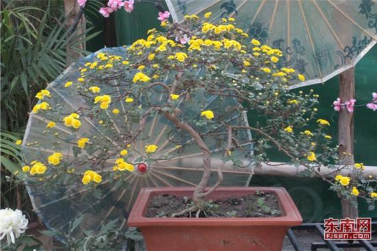 盆景造型菊花.jpg