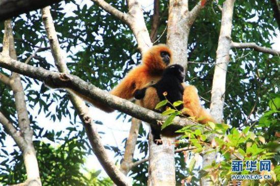 濒危物种海南长臂猿发现新雌性独猿 有助种群恢复图片 65685 550x366