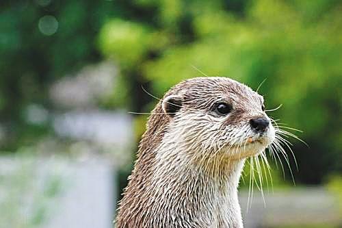 那么,作为国家二级保护动物,作为海南岛特有的物种,海南水獭究竟有