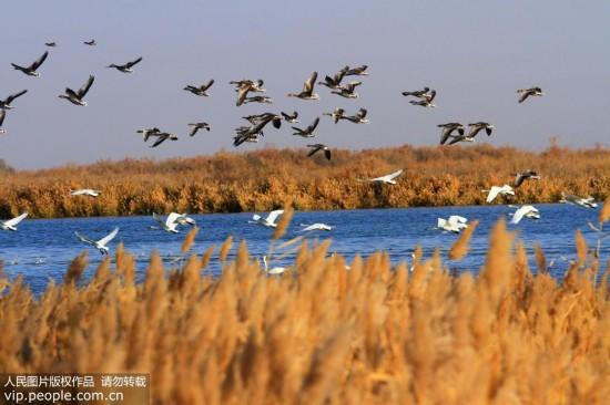 大批天鹅来到甘肃张掖黑河湿地越冬【2】