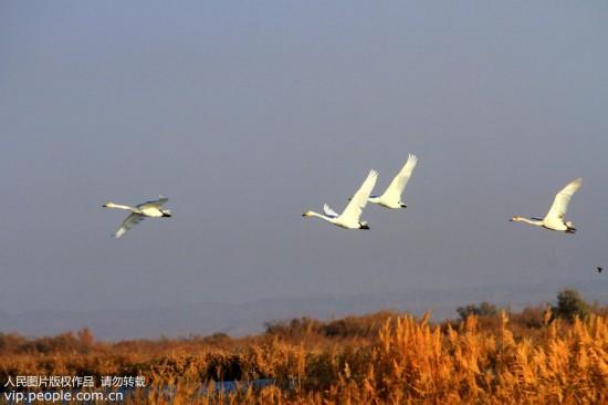 大批天鹅来到甘肃张掖黑河湿地越冬【4】