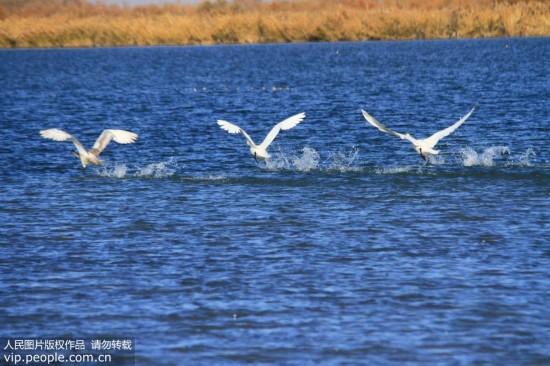 大批天鹅来到甘肃张掖黑河湿地越冬【3】