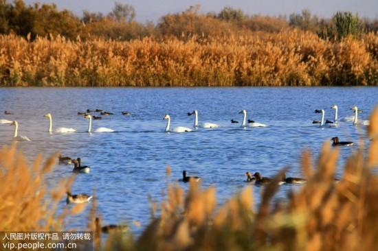大批天鹅来到甘肃张掖黑河湿地越冬