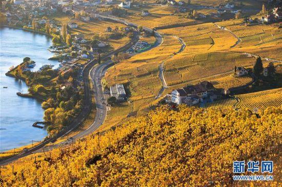 (国际)(1)瑞士拉沃葡萄园深秋景色迷人