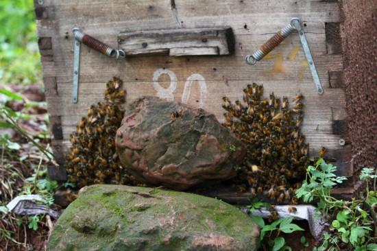 蜂群袭击印度村民葬礼 致送葬者弃尸而逃