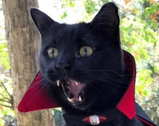 美尖牙气质扮吸血鬼迎万圣节模样高冷猫咪憨搞笑图片的papp图片