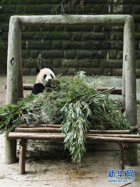 """11月2日,重庆动物园的大熊猫""""莽仔""""在吃竹子."""
