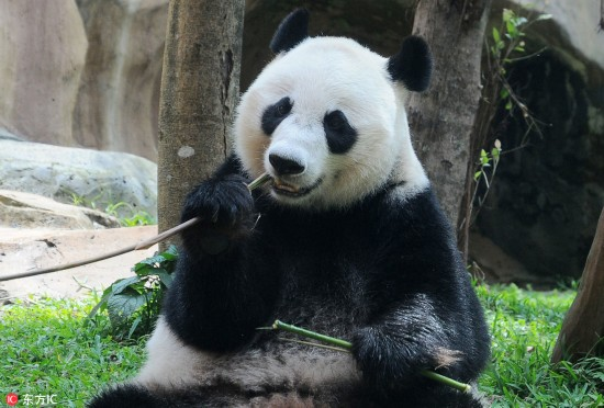 """旅印尼大熊猫""""湖春""""不惧镜头 与游客隔窗互动好调皮"""