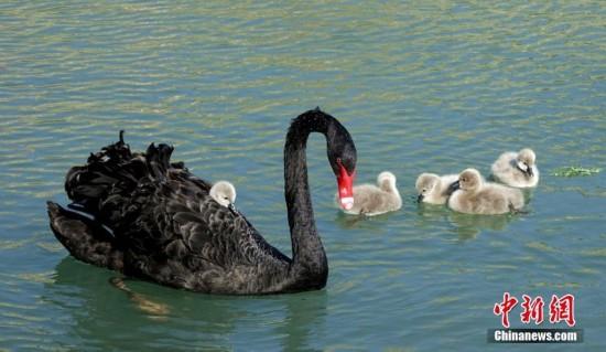"""新疆和静:黑天鹅""""妈妈""""背着宝宝温馨戏水"""