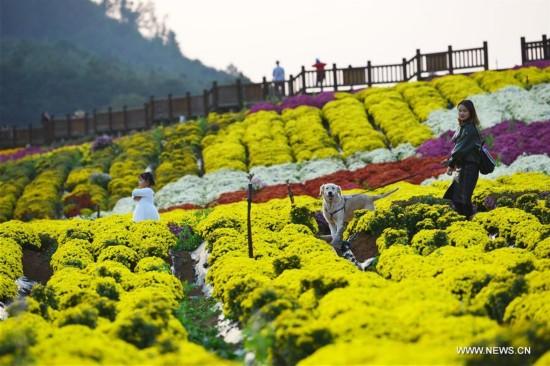 Tourists visit chrysanthemum plantation in SW China