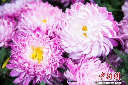 福州西湖万朵菊花伴金秋