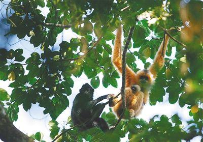 海南长臂猿:雨林深处的精灵        海南长臂猿也像人一样,具有社会性,它们是群居动物,以牢固的家庭为单位进行活动。
