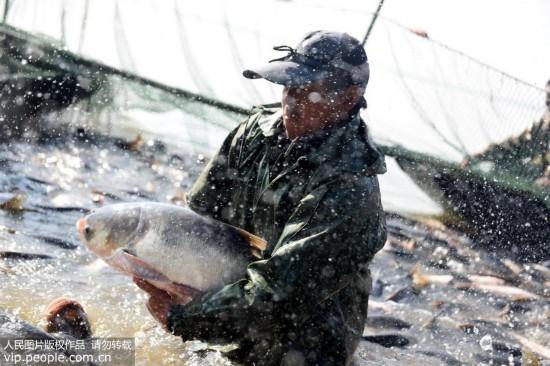 安徽铜陵:陈瑶湖渔业开捕【7】