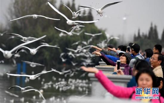 红嘴鸥连续33年飞临云南昆明越冬