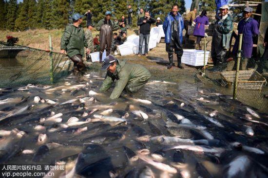 安徽铜陵:陈瑶湖渔业开捕【2】
