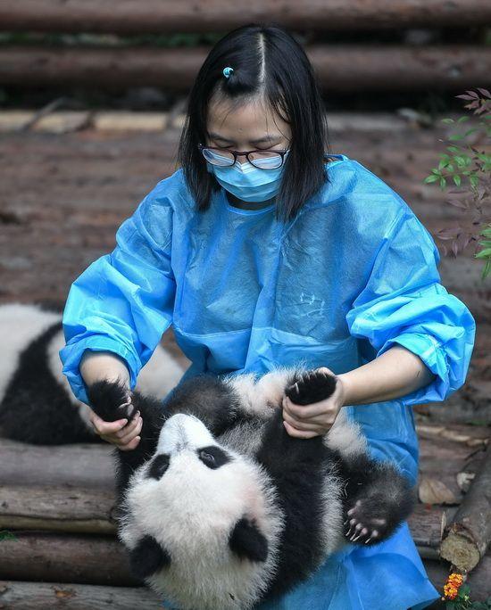 在成都大熊猫繁育研究基地,饲养员与大熊猫宝宝玩耍(9月29日摄)。新华社记者薛玉斌摄