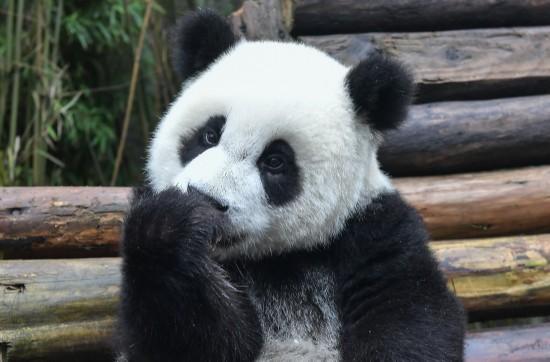 这是在中国大熊猫保护研究中心卧龙神树坪基地拍摄的大熊猫(9月23日摄)。 新华社记者薛玉斌摄