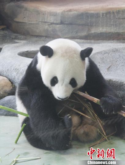 """图为""""彩陶""""在吃竹子。 林永传 摄"""