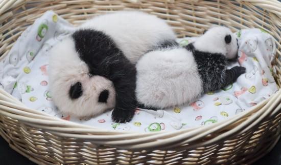 这是在中国大熊猫保护研究中心卧龙神树坪基地拍摄的大熊猫宝宝(9月23日摄) 。新华社记者薛玉斌摄