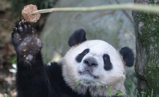 这是在成都大熊猫繁育研究基地拍摄的大熊猫(5月4日摄)。新华社记者薛玉斌摄