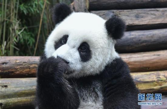 全球圈养大熊猫种群规模达520只