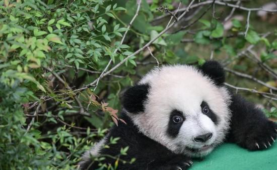 这是在成都大熊猫繁育研究基地拍摄的今年新生的大熊猫宝宝(9月29日摄)。新华社记者薛玉斌摄
