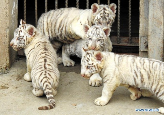 In pics: quadruplets of tiger cubs in E China's Jiangsu