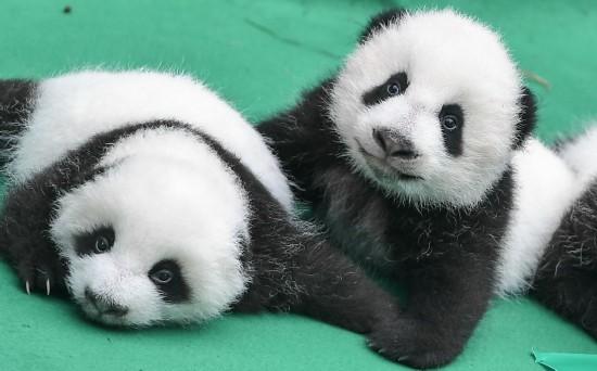 这是在成都大熊猫繁育研究基地拍摄的今年新生的大熊猫宝宝(9月29日摄)。 新华社记者薛玉斌摄